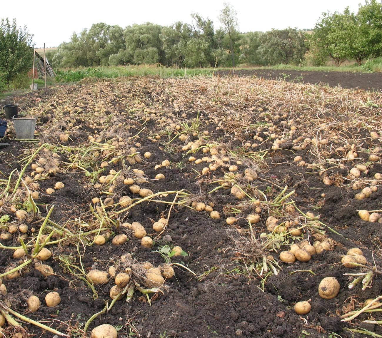 Когда всходит картофель после посадки - садоводству да