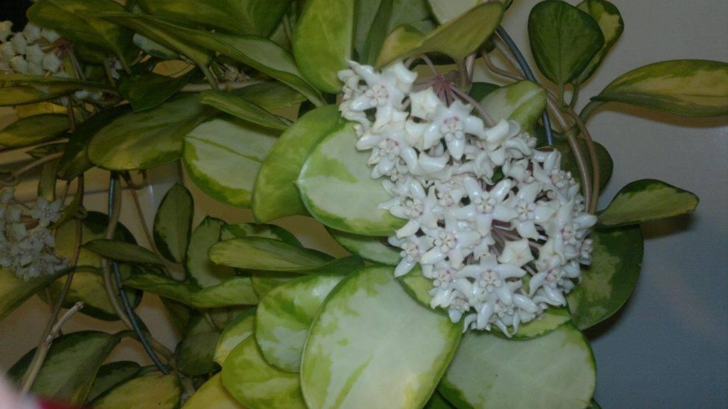 Хойя аустралис (hoya australis): описание растения, подвид лиза, размножение цветка и уход за нимдача эксперт