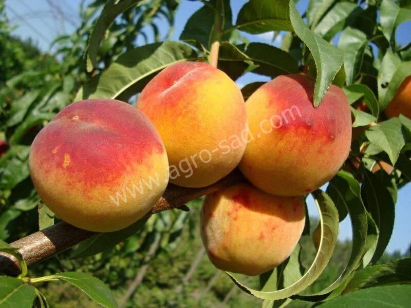 Персик редхейвен: описание сорта и особенности выращивания плодового дерева