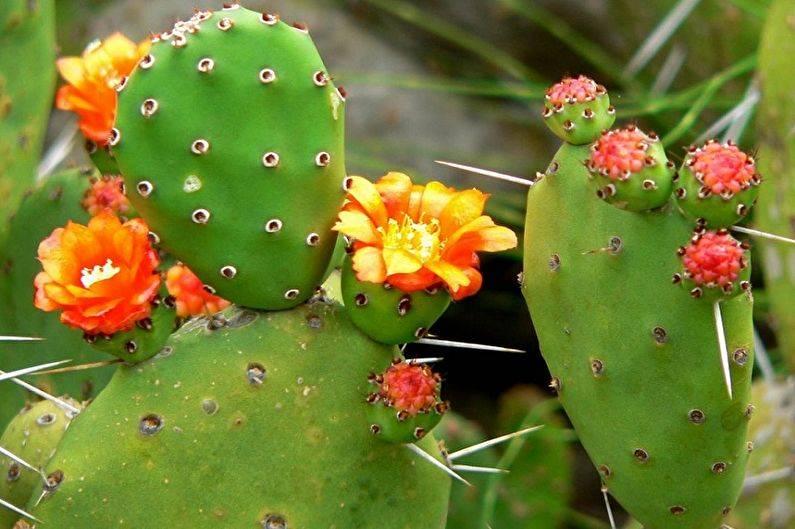 30 видов и названий домашних кактусов
