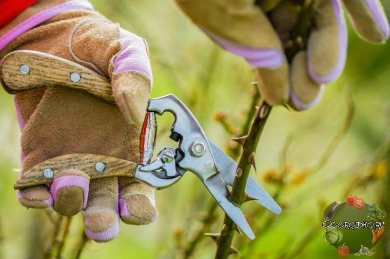 Как правильно обрезать розы на зиму: инструкция + видео