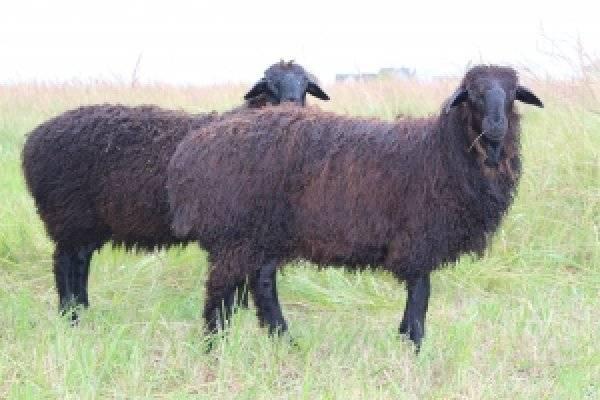 Цигайская порода овец: описание, характеристика, особенности содержания и отзывы