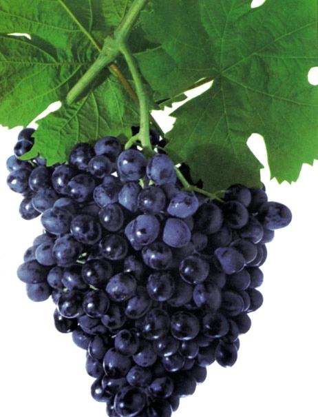 Характеристика и разновидность винограда ранний магарача