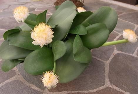 Гемантус: обзор популярных видов, уход за растением в домашних условиях