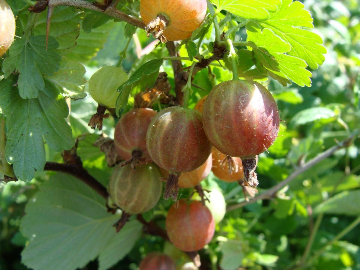 Крыжовник: выращивание в саду, обрезка, обработка
