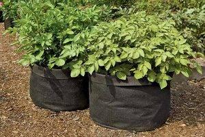 Выращивание картофеля в бочке: описание, технология, подробная пошаговая инструкция