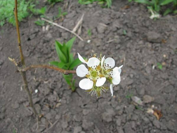 Размножение груши черенками семенами отводками как вырастить саженцы - скороспел