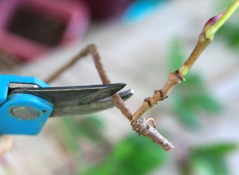 Девичий виноград размножение черенками и отводками весной и осенью (фото и видео)