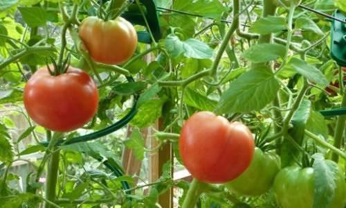 Как поливать рассаду помидоров в домашних условиях до пикировки и после наиболее правильно   теплотехники