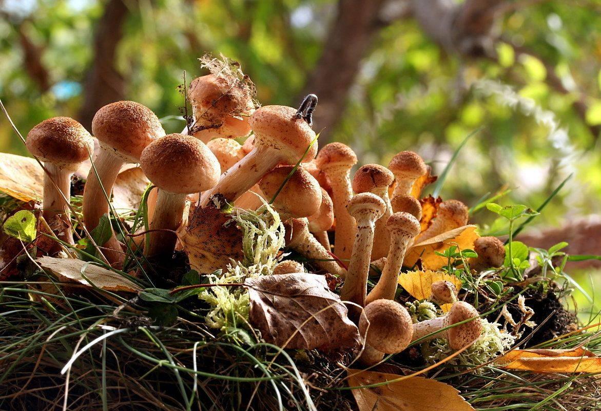 Съедобные грибы ленинградской области – фото и название