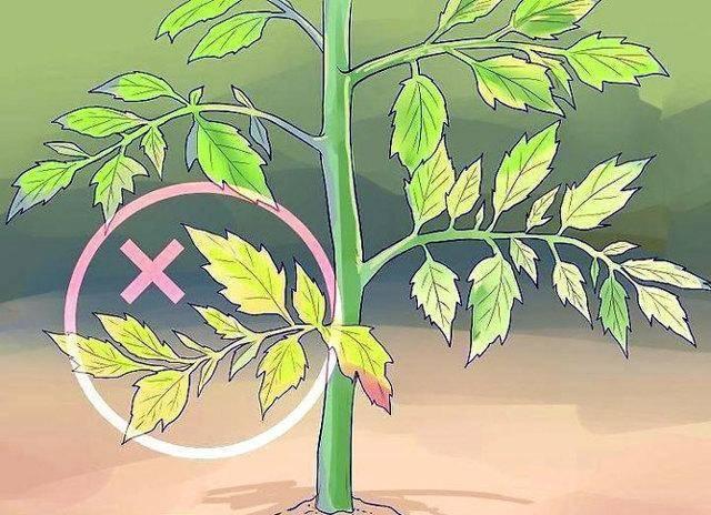 Сохнут листья у помидоров: причины и пути решения проблемы