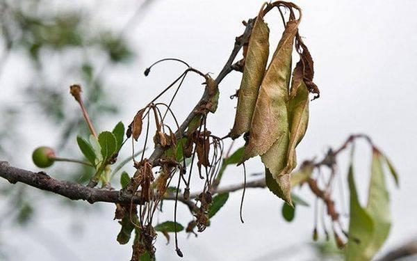 Лечение ствола яблони от повреждений и заболеваний