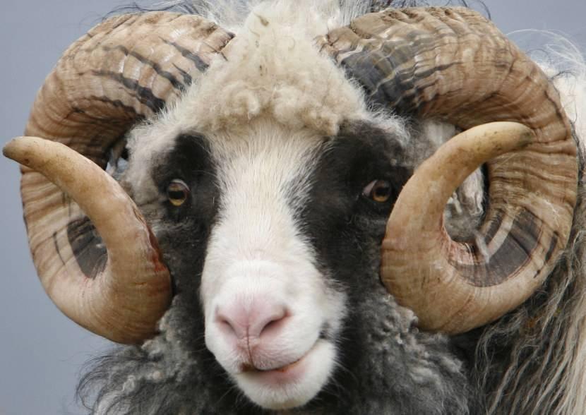 Алтайская порода овец: описание породы, особенности ухода и кормления домашних овец и баранов