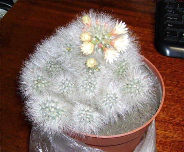 Маммиллярия: секреты выращивания и размножения кактуса с фото