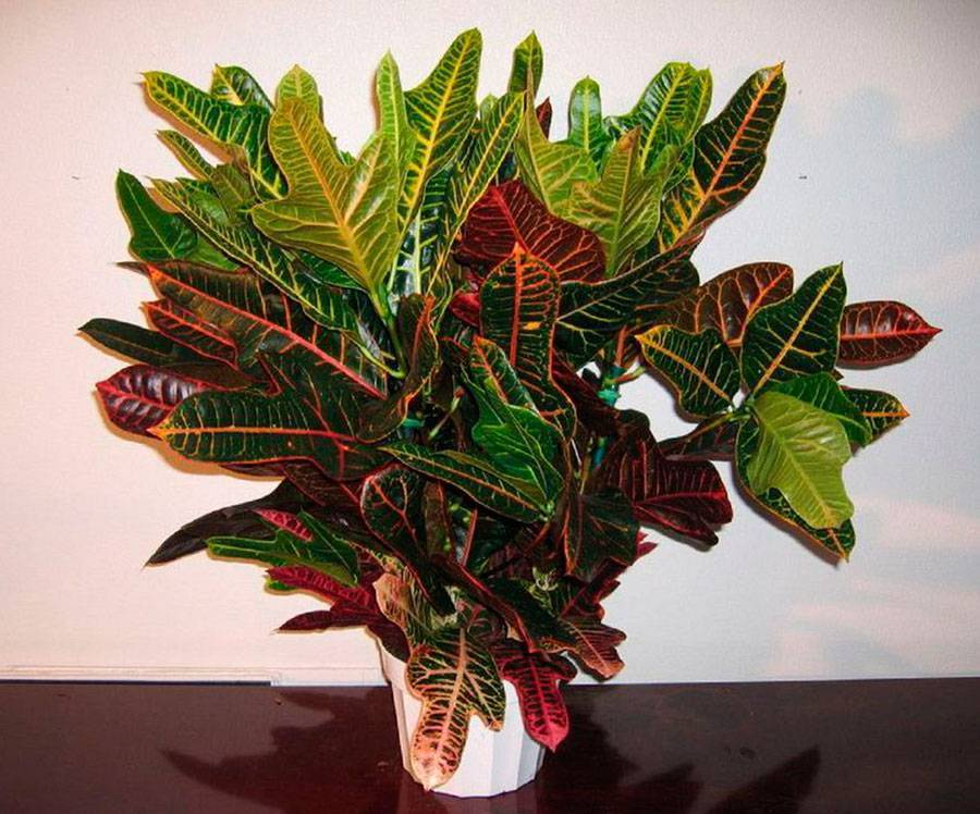 Как ухаживать за кротоном в домашних условиях: выращивание цветка