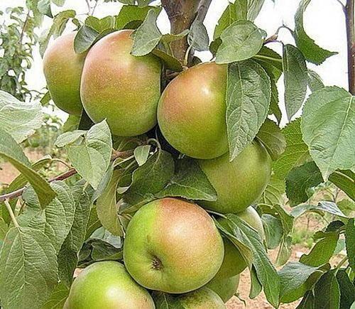 Лучшие сорта яблони для ленинградской области и северо–запада
