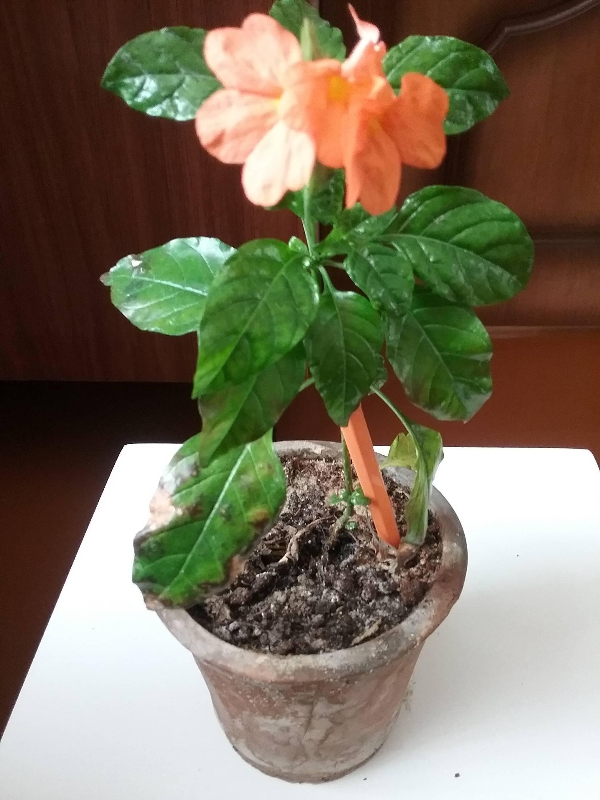 Выращивание кросандры в домашних условиях: посадка и размножение