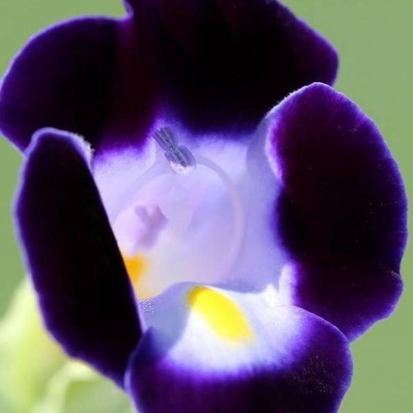 Торения (44 фото): выращивание цветов из семян и черенков в домашних условиях. описание посадки и ухода в открытом грунте