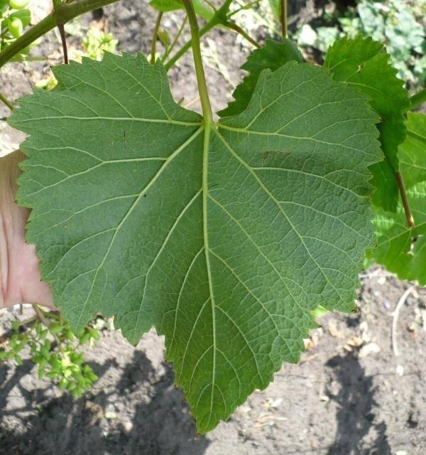 Разновидность винограда кишмиш сорт юпитер