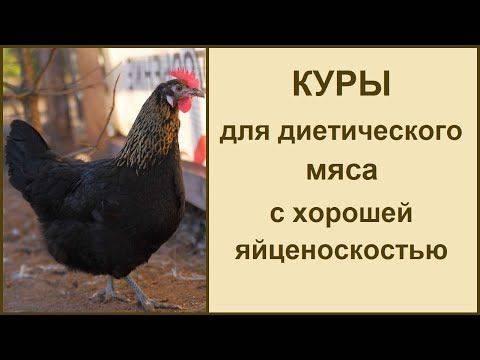 Характеристики и содержание московской черной породы кур