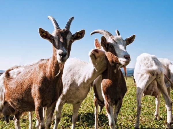 Коза не приходит в охоту: что делать, как её разгулять, как лечить и какие давать лекарства