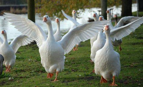 Разведение гусей в домашних условиях: породы, содержание, бизнес