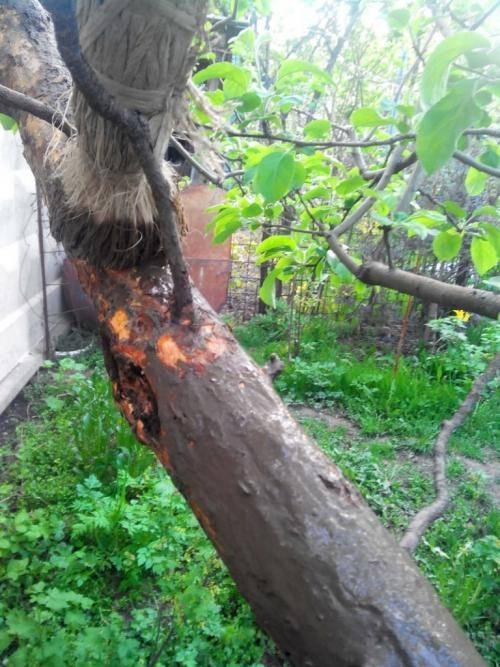 Обработка яблонь от вредителей и болезней весной: чем опрыскивать деревья?
