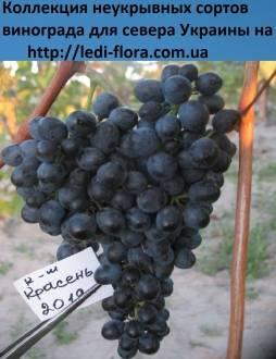 Устойчивый винный сорт — виноград «красень»