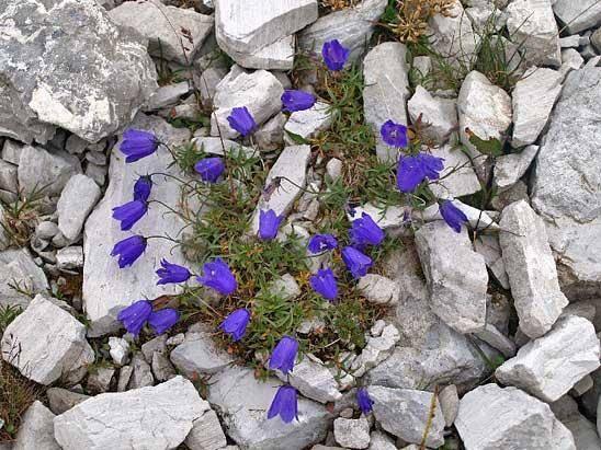 Цветы колокольчики – выращивание и сорта
