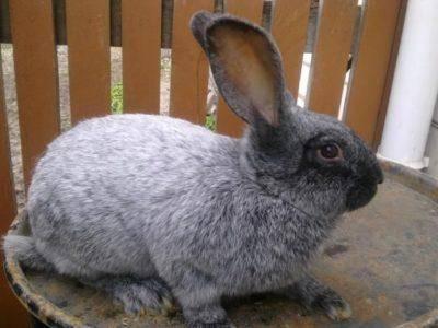 Серебристый кролик или все о кроликах породы серебро