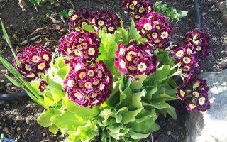 Примула: посадка, уход и фото многолетнего цветка, посев и тонкости выращивания садового растения в открытом грунте, виды, такие как ушковая, японская и шотландская selo.guru — интернет портал о сельском хозяйстве
