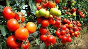Томат яблонька россии - хороший урожай и простой уход