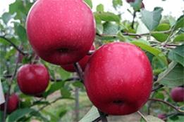 Сорт яблони легенда: описание, фото