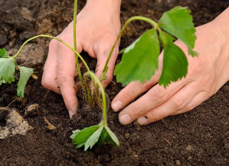 Как размножить клубнику: делением куста, усами, семенами