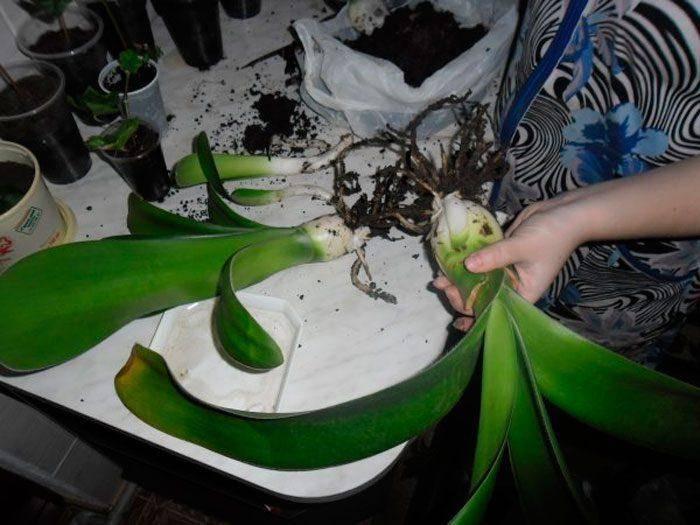 Гемантус: советы по выращиванию в домашних условиях, фото видов с описанием