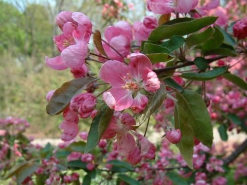 Цветущая яблоня: как выглядят цветы и ветки, когда бывает цветение, в каком месяце, в том числе в москве + фото