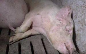 Профилактика и лечение запоров у декоративных свиней и поросят – клуб любителей хрюш