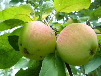 Яблоня штрифель – 8 особенностей и 10 советов по посадке и уходу