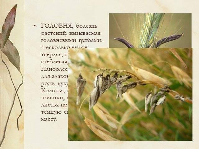 Головневые грибы: паразиты зерновых культур, как происходит заражение — selok.info
