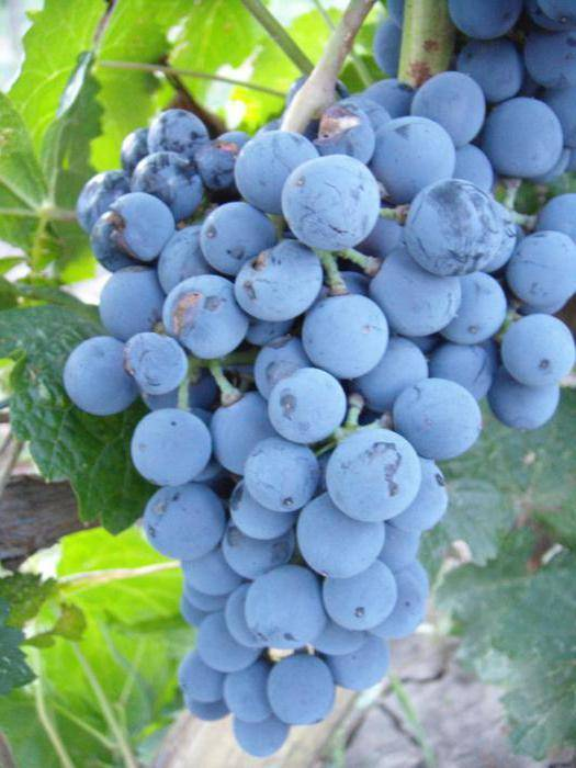 Невероятно устойчивый виноград левокумский - сорта винограда, винные | описание, советы, отзывы, фото и видео