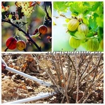 Посадка крыжовника осенью: обрезка, уход и подготовка к зиме