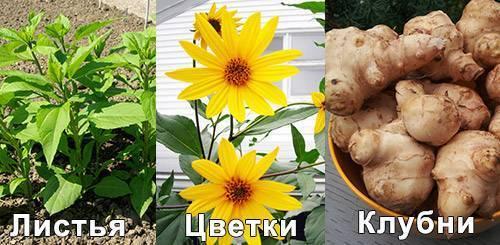 Выращивание топинамбура: посадка, уход, сорта