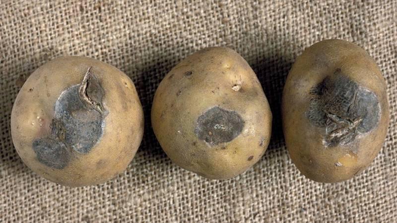 Болезни ботвы картофеля: фото, описание и лечение