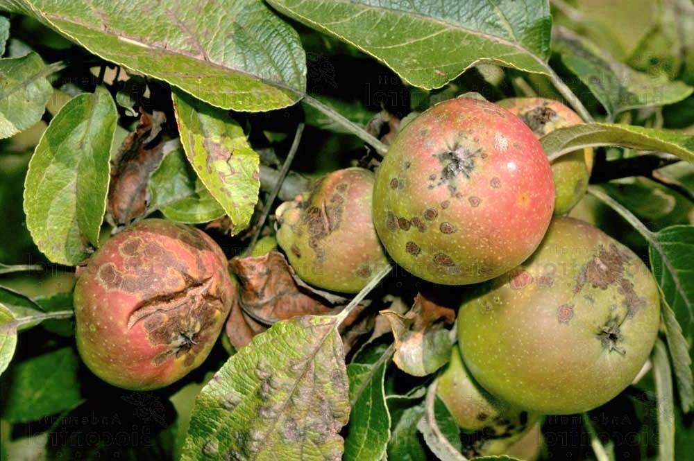 Советы агрономов, чем обработать яблоню от парши
