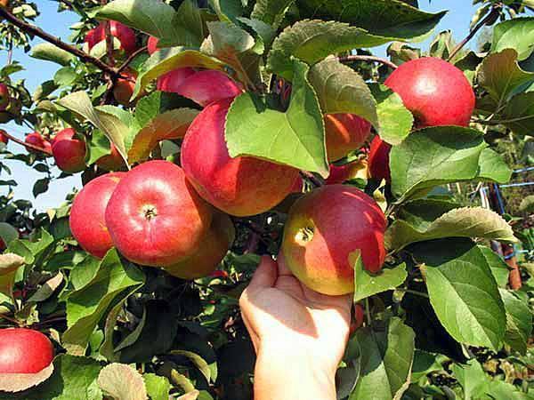 Яблоня «заветное»: описание сорта, фото и отзывы