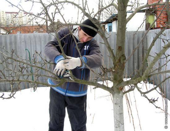 Как обрезать яблони весной: сроки и схемы для старых и молодых деревьев