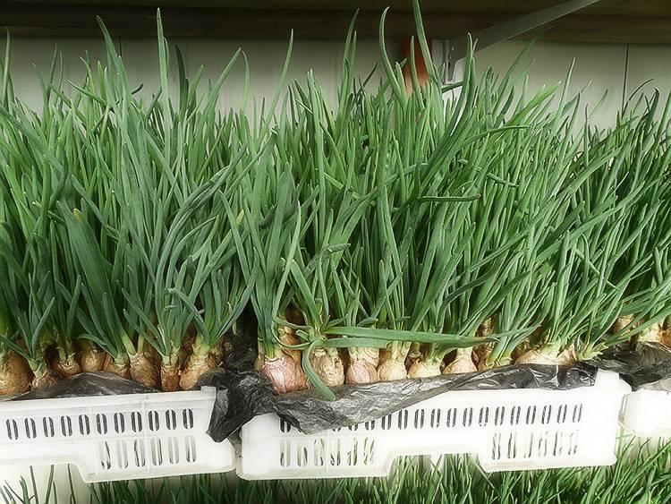 Выращивание зеленого лука круглый год — очень выгодное дело. себестоимость очищенного зеленого лука (по состоянию на 01.01.2017 года), выращенного по нашей технологии и на нашем оборудовании — до 50 р
