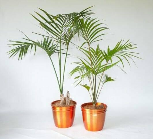 Домашние пальмы: каталог видов и названий с фото, правила ухода