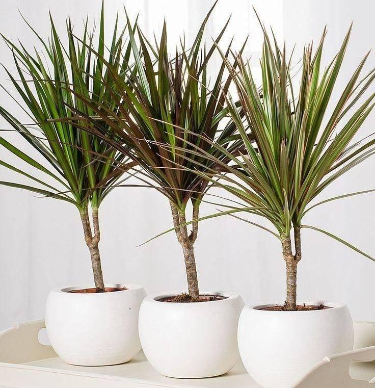 Комнатные растения драцена: размножение и уход за ними, фото разных видов для выращивания