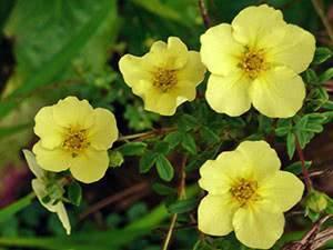 Лапчатка белая: выращивание, уход, обрезка весной, виды, полезные свойства